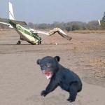 bear plane